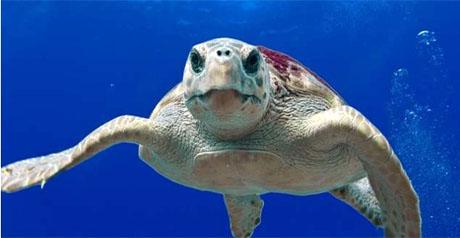 tartaruga - mare