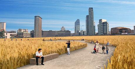 campo di grano Milano - coltivazione - agricoltura2
