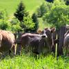 mucche - biogas