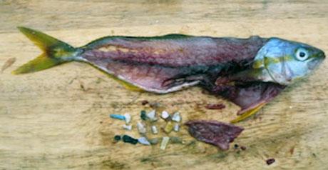 micro plastica - pesce