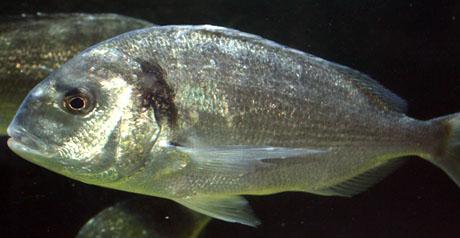 Pesce orata