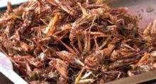 grilli insetti cibo alimenti