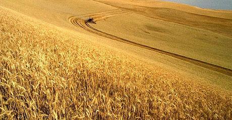 Barilla e coprob accordo agricoltura sostenibile for Da dove proviene il grano della barilla